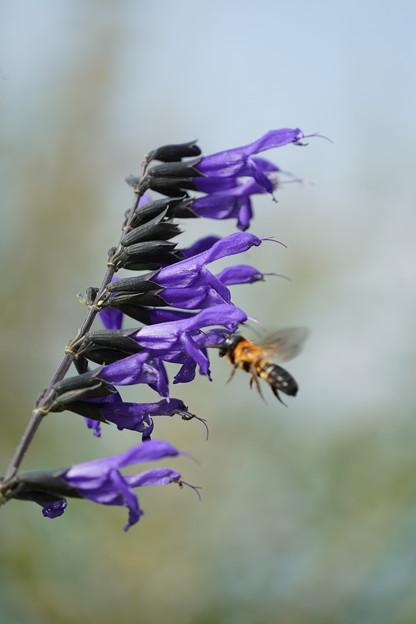 蜂とサルビア