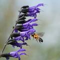 Photos: 蜂とサルビア