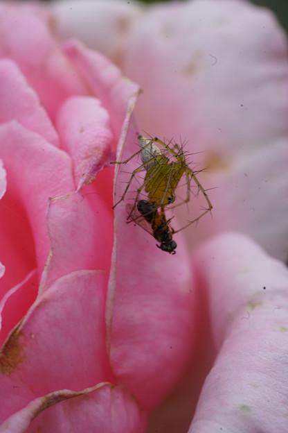 蜂襲う蜘蛛