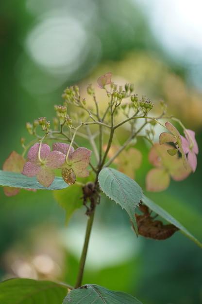 紫陽花と抜け殻