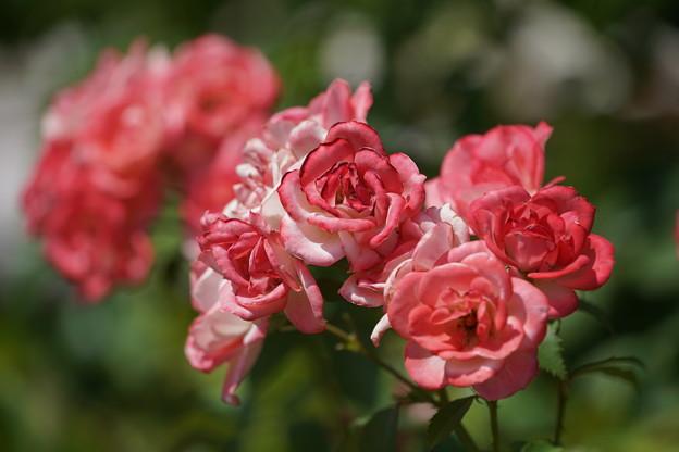 薔薇の花々