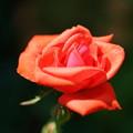 橙色の薔薇