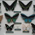 Photos: 蝶の標本