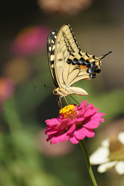 花とキアゲハ