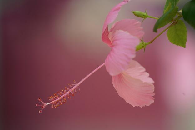Photos: ピンクのハイビスカス