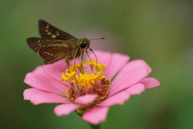 花とセセリチョウ