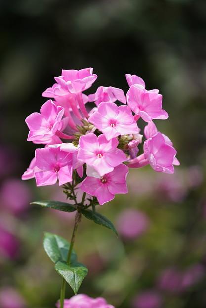 ピンクのフロックス