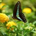 Photos: 花とアオスジアゲハ