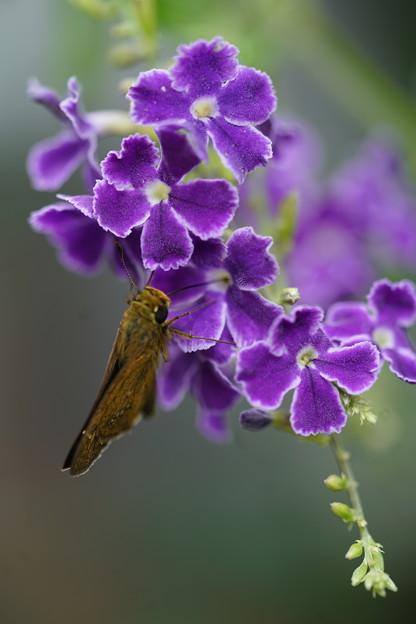 蝶とジュランタ