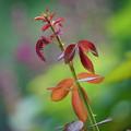 Photos: 薔薇の芽