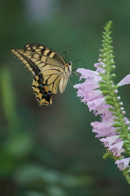 ハナトラノオと蝶