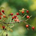 Photos: 薔薇の種