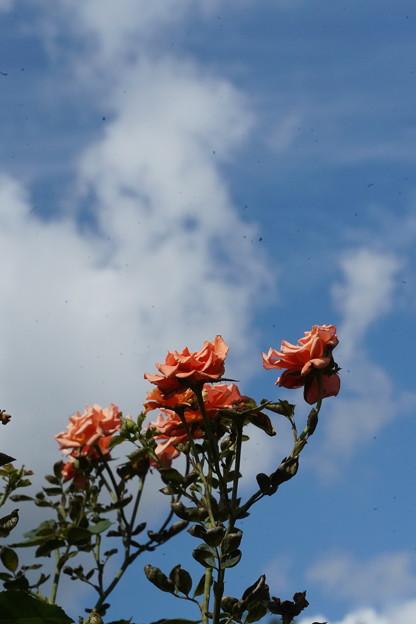 秋空の薔薇