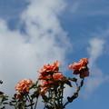 Photos: 秋空の薔薇