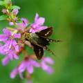 ミソハギと蝶