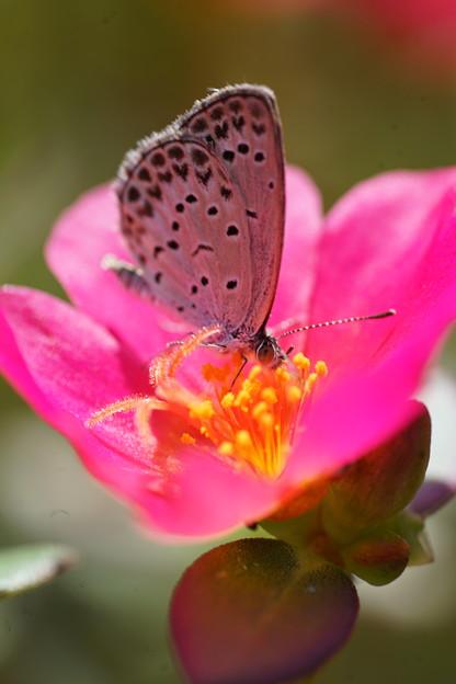 ポーチュラカと蝶