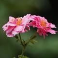 二輪の薔薇