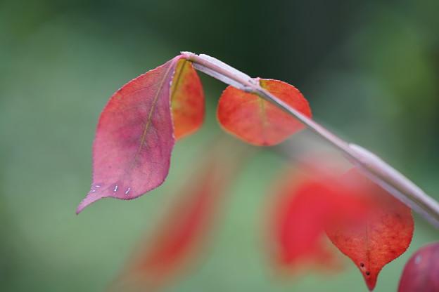 ニシキギの葉