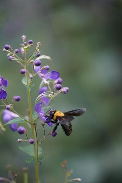 カリガネソウとクマバチ