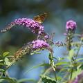 Photos: ブッドレアと蝶
