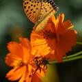 キバナコスモスと蝶