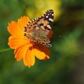 Photos: 花とタテハチョウ