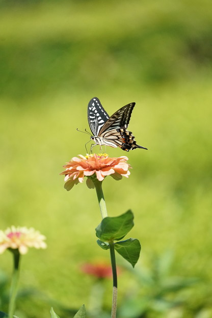 花とナミアゲハ