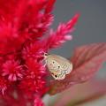 ケイトウと蝶
