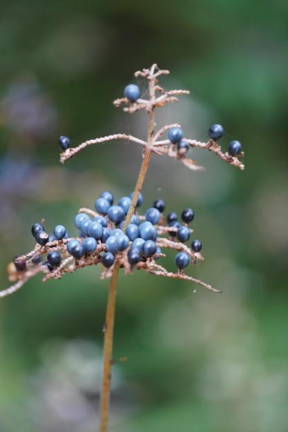 藪茗荷の種
