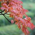 Photos: ハゼノキの紅葉