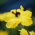 Photos: ヘチマの花