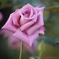 Photos: 紫の薔薇