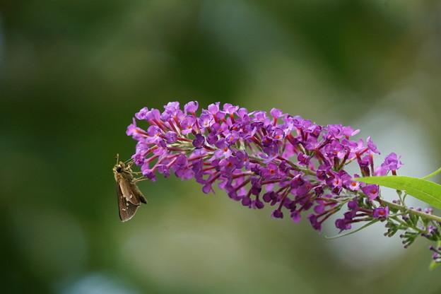 花とイチモンジセセリ