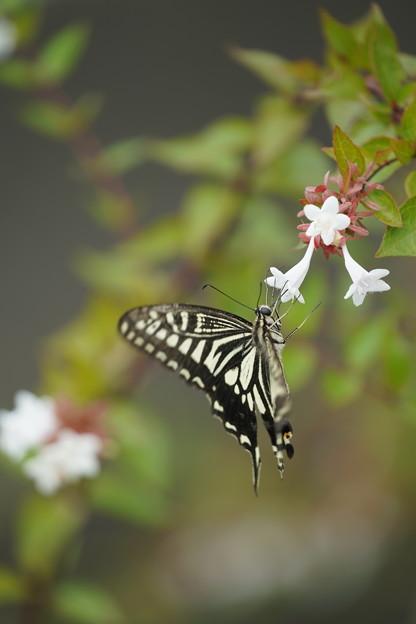アベリアと蝶