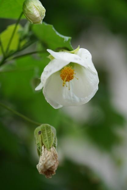 白いアブチロン