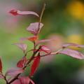 ブルーベリーの葉