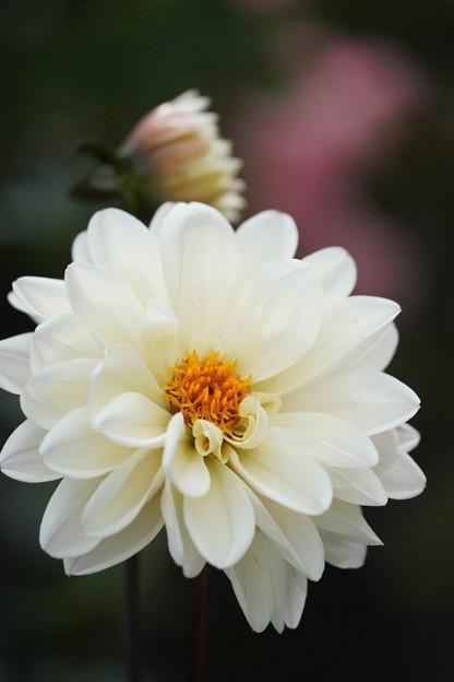 白いダリア