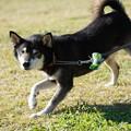 Photos: 9歳雄の柴犬