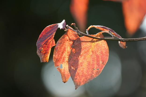 アメリカヤマボウシの葉