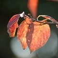 Photos: アメリカヤマボウシの葉