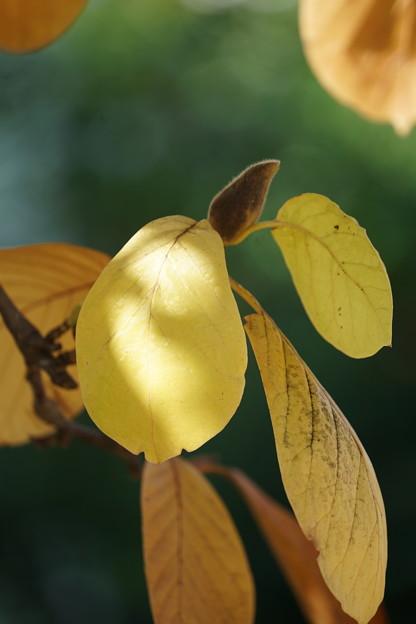 ハクモクレンの蕾と葉