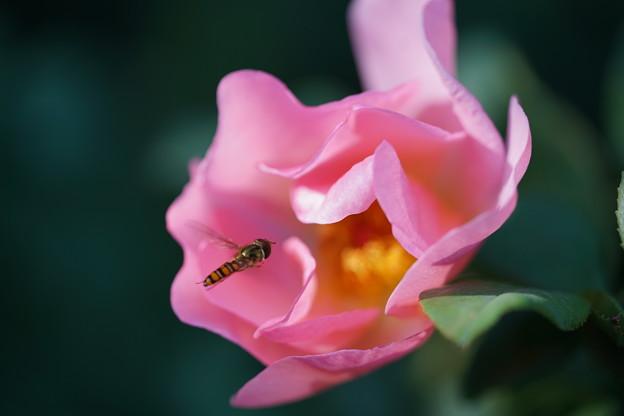 薔薇とアブ