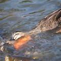 Photos: 鴨と鯉