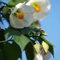 Photos: 白いアブチロン
