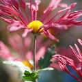 Photos: 古典菊