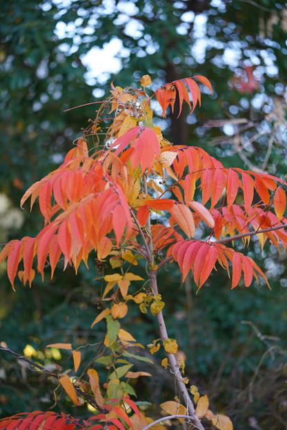 ハゼノキの葉