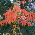 Photos: ハゼノキの葉