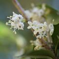 Photos: 柊の花