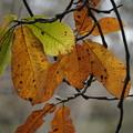 ホオノキの葉