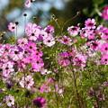 Photos: コスモスの花々